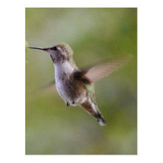 Painted Hummingbird Bird Postcard