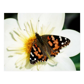 Painted Lady Butterfly 2 Post Cards