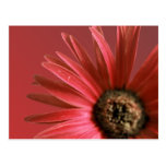 Painted Red Daisy