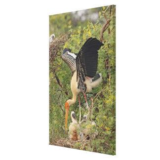 Painted Stork & youngones,Keoladeo National Gallery Wrapped Canvas
