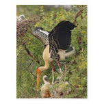 Painted Stork & youngones,Keoladeo National Postcards