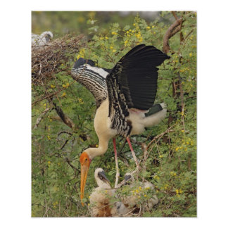 Painted Stork & youngones,Keoladeo National Poster