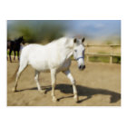 PAINTED WHITE HORSE POSTCARD