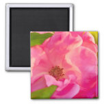 Painterly Abstract Pink Knockout Rose Square Magnet