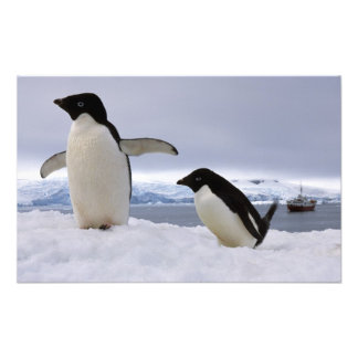 Pair Adelie penguins Antarctica Photo Print