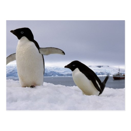 Pair Adelie penguins Antarctica Post Cards
