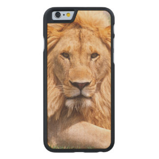 Pair of African Lions, Panthera leo, Tanzania Carved® Maple iPhone 6 Case