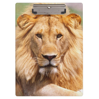 Pair of African Lions, Panthera leo, Tanzania Clipboard