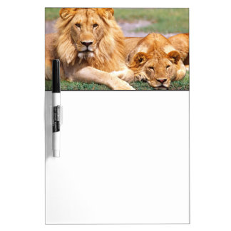 Pair of African Lions, Panthera leo, Tanzania Dry Erase Board