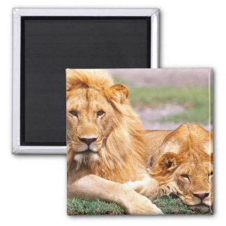 Pair of African Lions, Panthera leo, Tanzania Magnet