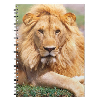Pair of African Lions, Panthera leo, Tanzania Notebook