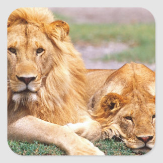 Pair of African Lions, Panthera leo, Tanzania Square Sticker