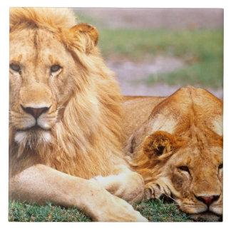 Pair of African Lions, Panthera leo, Tanzania Tile