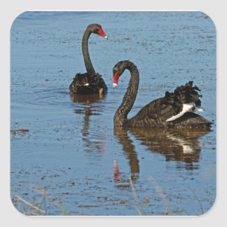 Pair of Black Swans Square Sticker
