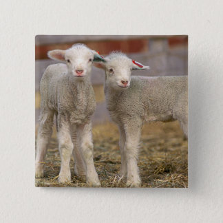 Pair of commercial Targhee Lambs 15 Cm Square Badge