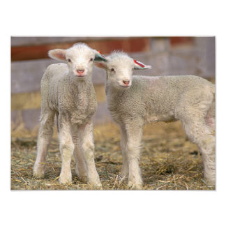 Pair of commercial Targhee Lambs Art Photo
