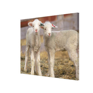 Pair of commercial Targhee Lambs Canvas Print