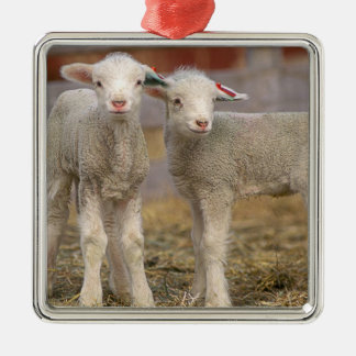 Pair of commercial Targhee Lambs Silver-Colored Square Decoration