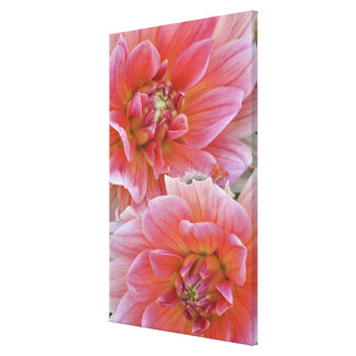 Pair of Dahlia flowers, Dahlia spp. , Gallery Wrapped Canvas