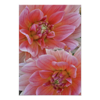 Pair of Dahlia flowers Dahlia spp Posters