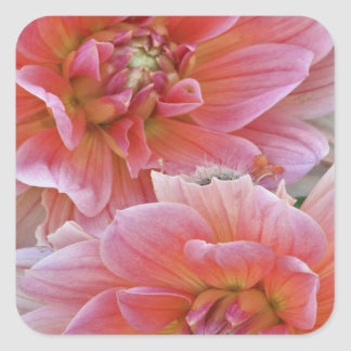 Pair of Dahlia flowers, Dahlia spp. , Square Sticker