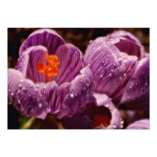 Pair of dewy crocuses, soft-focus  flowers custom announcements