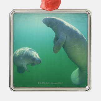 Pair of florida manatees swimming christmas ornament