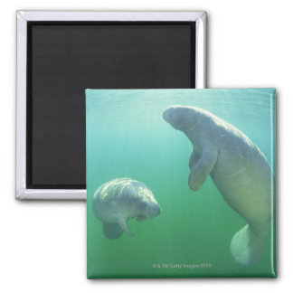 Pair of florida manatees swimming magnet