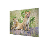 Pair of Lion cubs on rock, Panthera leo, Masai Gallery Wrapped Canvas