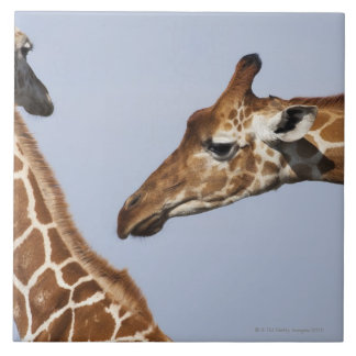 Pair of Reticulated Giraffes (Giraffa) Tile