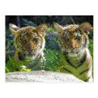 Pair of Tiger Cubs Portrait Postcard