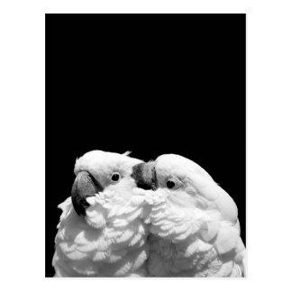 Pair of umbrella cockatoos postcard