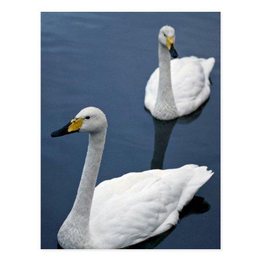 Pair of whooper swans, Peakirk Waterfowl Gardens Post Cards