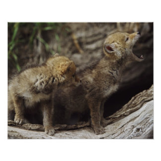 Pair Of Young Coyote Pups Howling Poster