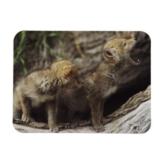 Pair Of Young Coyote Pups Howling Rectangular Photo Magnet