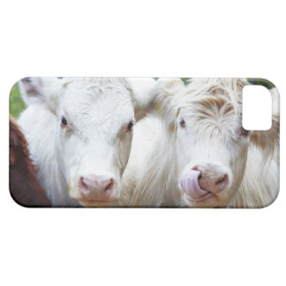 Pair of young white cows at feeding trailor iPhone 5 cover