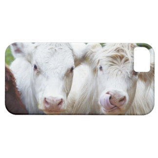 Pair of young white cows at feeding trailor iPhone 5 covers
