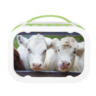 Pair of young white cows at feeding trailor lunch box