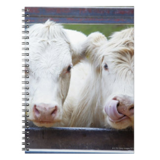 Pair of young white cows at feeding trailor notebook