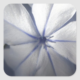 Pale Blue Plumbago Flower Close Up Square Sticker