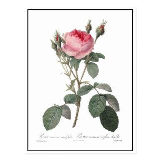 Pale pink vintage roses painting postcard