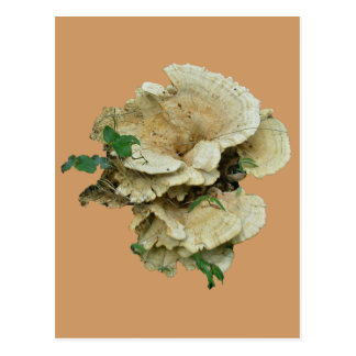 Pale Shelf Fungus Coordinating Items Postcard