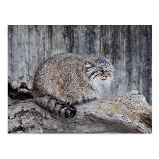 Pallas' Cat or Manul Postcard