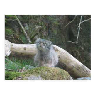 Pallas cat postcard