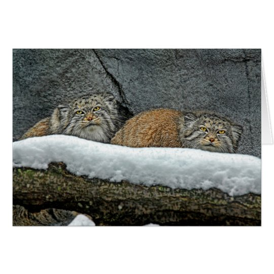 Pallas Cats Snow Holiday Greeting Card
