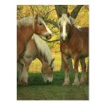 Palomino Draught   Horses Postcard
