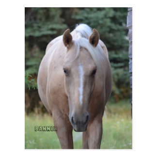 Palomino Gelding Banner  Post card