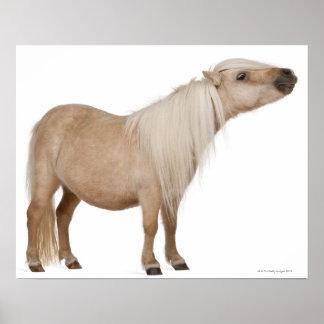 Palomino Shetland pony - Equus caballus (3 years Poster