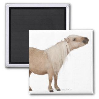 Palomino Shetland pony - Equus caballus (3 years Square Magnet