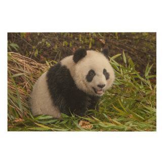 Panda Among Bamboo Wood Print